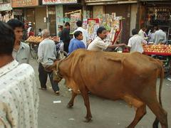 Cow wandering in the Colaba Market.