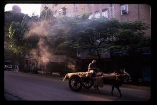 Man driving an oxcart through the early morning streets of Mumbai.