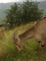 An amazingly tame Nilgiri Tahr, Eravikulam National Park, Kerala.