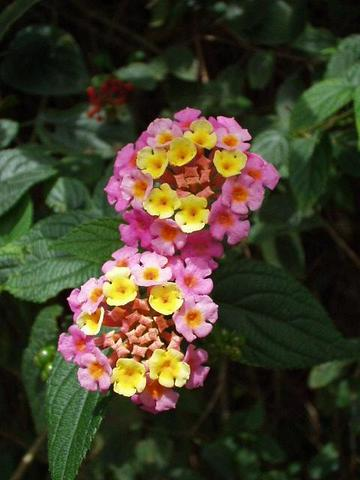 Pretty little flower, Munnar.